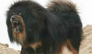 Hà Nội: Bé gái 8 tháng tuổi bị chó Ngao Tây Tạng cắn chết thương tâm