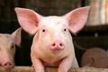 Giá heo hơi hôm nay 20/7: Giá lợn tại miền Nam tiếp tục tăng