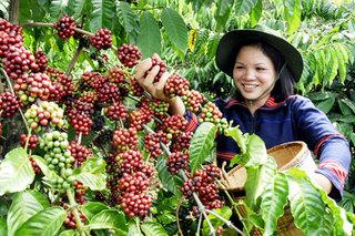 Giá cà phê hôm nay 20/7: Tăng 400 đồng/kg
