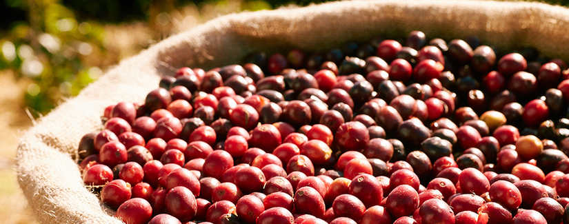 Giá cà phê hôm nay 21/7: Đang đà ổn định