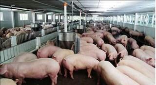 Giá heo hơi hôm nay 23/7: Giá lợn hơi tăng 2000 - 3000 đồng