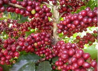 Thị trường nông sản hôm nay 24/7: Giá cà phê có xu hướng tăng