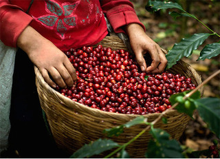 Giá cà phê hôm nay 26/7: Ổn định đà tăng trong nước
