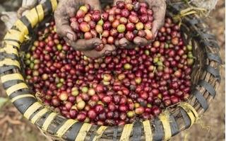 Giá cà phê hôm nay 27/7: Sẽ tăng nhẹ sau khi giảm sâu