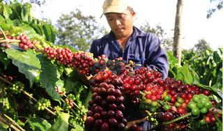 Giá cà phê hôm nay 28/7: Tiếp tục trượt dốc giảm sâu