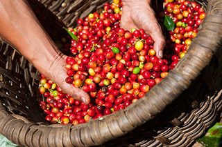 Giá cà phê hôm nay 30/7: Toàn cầu giảm mạnh, trong nước cao nhất 35.100 đồng