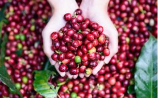 Giá cà phê hôm nay 31/7: Vẫn 'lẹt đẹt' ở mức 34.300 - 35.100 đồng/kg
