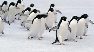 Hơn 1,8 triệu con chim cánh cụt vua bất ngờ 'mất tích' bí ẩn ở Pháp