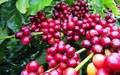 Giá cà phê hôm nay 3/8: Giá cà phê đang thấp kỷ lục