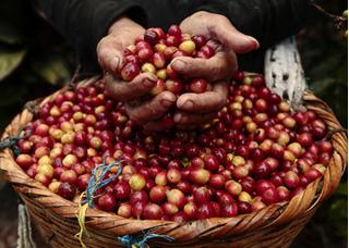 Giá cà phê hôm nay 4/8: Tạm thời thoát đáy sau khi lao dốc thê thảm