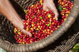 Giá cà phê hôm nay 5/8: Cuối tuần phục hồi nhẹ