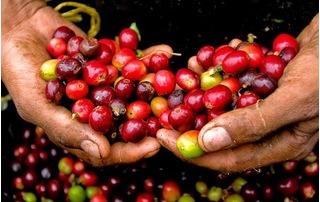 Giá cà phê hôm nay 8/8: Thế giới phục hồi, Đắk Lắk cao nhất cả nước