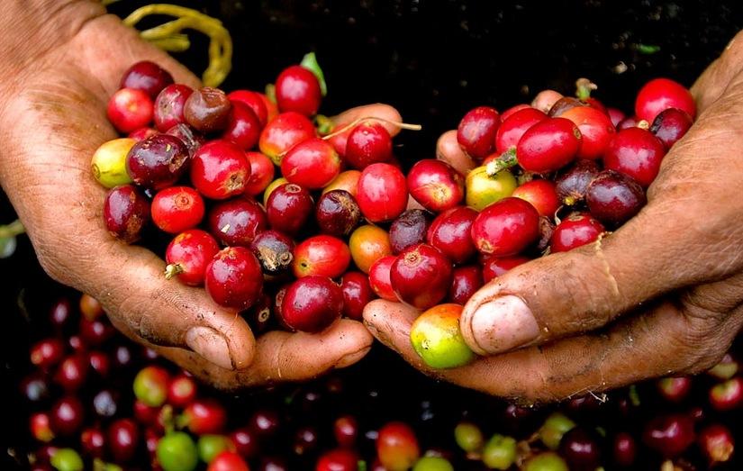 Giá cà phê hôm nay 7/8: Đầu tuần giảm nhẹ