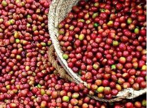 Giá cà phê hôm nay 9/8: Cà phê nội địa đảo chiều giảm chóng mặt