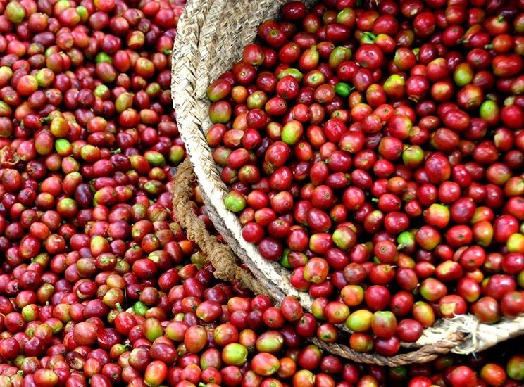 Giá cà phê hôm nay 9/8: Cà phê nội địa đảo chiều chóng mặt