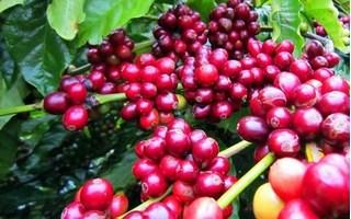 Giá cà phê hôm nay 10/8: Thấp kỷ lục trong 50 năm