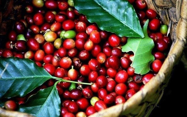 Giá cà phê hôm nay 12/8: Tăng 100 đồng/kg