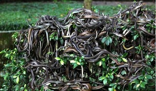 Rùng mình hòn đảo '1 mét vuông 5 con rắn', cấm người dân đặt chân đến