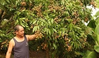 Chùm ảnh: Hưng Yên được mùa nhãn kỷ lục