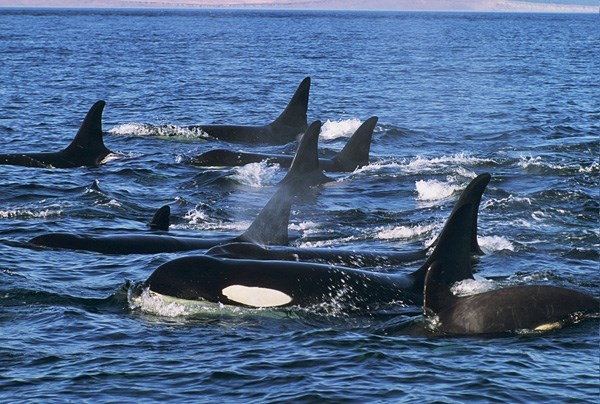 Cảm động cá voi sát thủ 'ôm' xác con đi khắp Thái Bình Dương