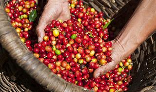 Giá cà phê hôm nay 15/8: Trượt mốc 35.000 đồng/kg