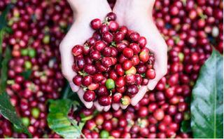 Giá cà phê hôm nay 16/8: Giảm thấp kỷ lục tính từ đầu vụ