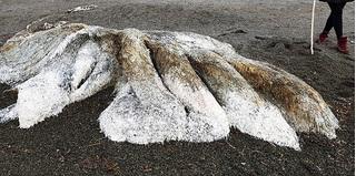 Sinh vật kỳ lạ trôi dạt vào bờ biển Nga khiến dư luận xôn xao