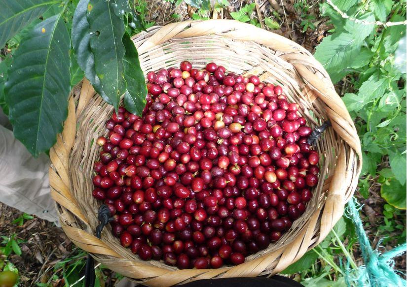 Giá cà phê hôm nay 20/8: Cao nhất ở mức 33.900 đồng