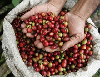 Giá cà phê hôm nay 21/8: Cà phê trong nước thấp kỷ lục, nông dân điêu đứng