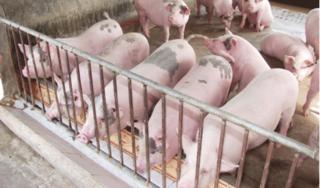 Giá heo hơi hôm nay 3/9: Hậu tăng chót vót, giá lợn bắt đầu chững lại
