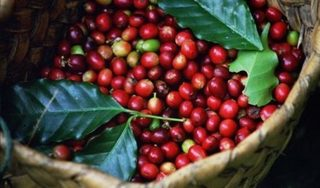 Giá cà phê hôm nay 24/8: Cả trong nước và quốc tế đều giảm giá