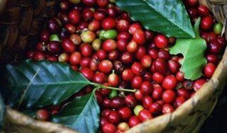 Giá cà phê hôm nay 28/8: Bất ngờ giảm giá vào những ngày đầu tuần