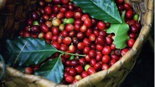 Giá cà phê hôm nay 26/8: Cuối tuần tiếp tục đà tăng