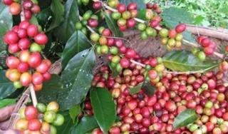 Giá cà phê hôm nay 23/8: Ảm đạm khó phục hồi