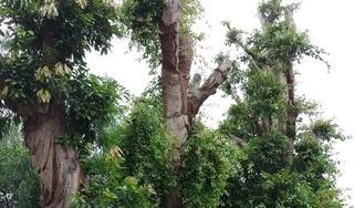 Hình ảnh mới nhất về 3 cây quái thú ở Huế sau 5 tháng