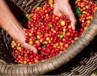 Giá cà phê hôm nay 25/8: Nhích tăng sau phiên trượt dốc thảm hại