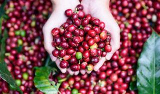 Giá cà phê hôm nay 7/9: Bắt đầu phục hồi nhưng vẫn thấp