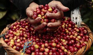 Giá cà phê hôm nay 30/8: Giá thấp, chưa thấy dấu hiệu phục hồi