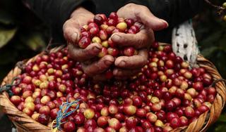 Giá cà phê hôm nay 2/9: Trượt dốc không phanh