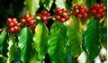 Giá cà phê hôm nay 31/8: Vừa tăng lại có nguy cơ giảm
