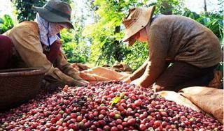 Giá cà phê hôm nay 1/9: Kiệt sức trong đà giảm