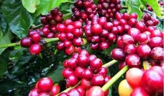 Giá cà phê hôm nay 4/9: Giá thấp trượt ngưỡng 33.000 đồng/kg