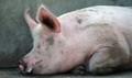 Lợn nhiễm dịch tả lợn Châu Phi có dấu hiệu như thế nào?