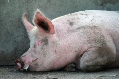 Dấu hiệu nhận biết lợn nhiễm Dịch tả lợn Châu Phi