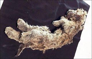 Kỳ lạ xác sư tử con vẫn còn nguyên vẹn sau 50.000 năm bị chôn vùi