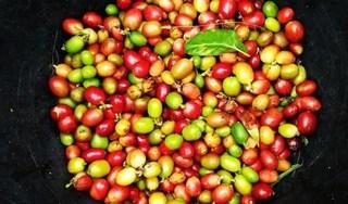 Giá cà phê hôm nay 15/9: Thấp nhất ở mức 32.100 đồng/kg