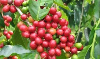 Giá cà phê hôm nay 17/9: Giá thấp kỷ lục, giảm thêm 200 đồng/kg