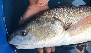 Ngư dân bắt được cá sủ vàng ở Đà Nẵng, được định giá 500 triệu đồng