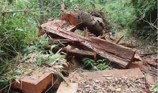 Quảng Nam: Bắt 2 cán bộ kiểm lâm để điều tra vụ 33 cây gỗ lim bị đốn hạ