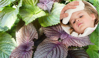 Cho trẻ uống nước lá tía tô phòng bệnh có tốt không?